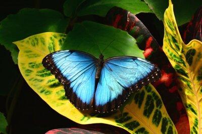 Картина Довольно синий морфо бабочки земли в бабочке сады.