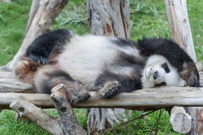Картина Спящим гигантом панда