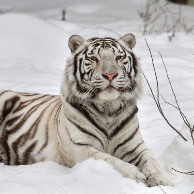 Картина Белый Бенгальский тигр, спокойный лежал на свежем снегу. Самое красивое животное и очень опасный зверь в мире. Это тяжелая Raptor является жемчужиной дикой природы. Животное лицо портрет.