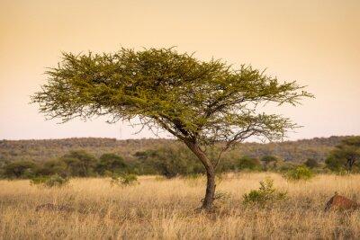 Картина Дерево Акации Африка