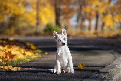 Картина очаровательны сибирский хаски щенок сидит на открытом воздухе осенью