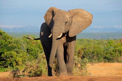 Картина Африканский слон, Аддо Элефант Национальный парк
