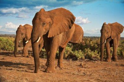 Картина Африканский слон матриархат на фоне голубого неба