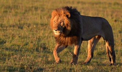 Картина Африканский лев