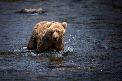 Картина Аляскинский бурый медведь броды через реку Брукс в поисках лосося.