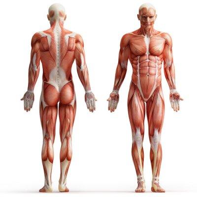 Картина анатомия, мышцы
