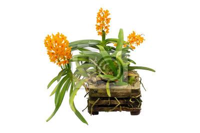 Ascocentrum Miniatum орхидеи на белом фоне