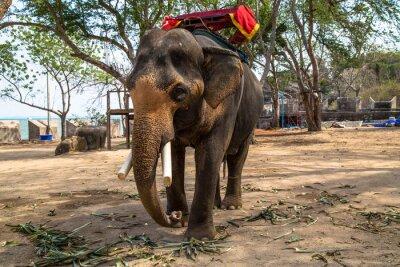 Картина Азиатский слон