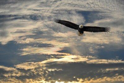 Картина Белоголовый орлан летит над Аляской