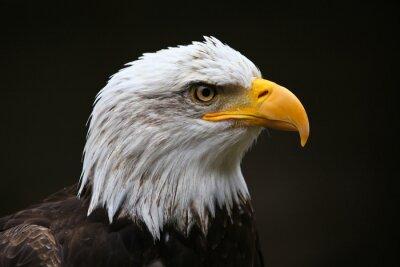 Картина Белоголовый орлан профиля