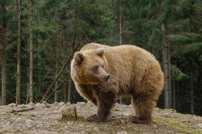 Картина Медведь ищет весной в лесу