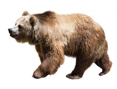 Картина Медведь. Изолированные на белом фоне