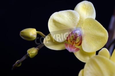 Картина Красивые красочные орхидеи цветок, фаленопсис на черном фоне