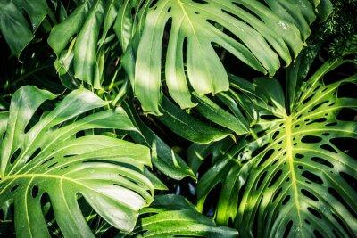 Картина Красивые зеленые тропические листья Монстера