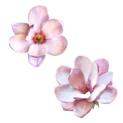 Картина красивые магнолии, весна цветок, изолированных