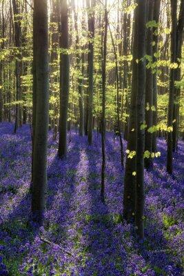 Картина Прекрасное утро весной колокольчика леса с Солнце сияет throu