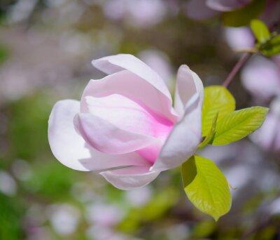 Картина Красивые розовые цветы магнолии. Весна фона