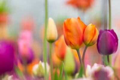 Картина Прекрасный вид цветных тюльпанов.