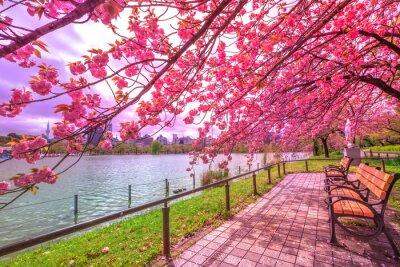 Картина Скамейки под вишнями в полном расцвете во время Ханами вдоль пруда Синобадзу в парке Уэно, парк возле станции Уэно, в центре Токио. Парк Уэно считается лучшим местом в Токио для цветущей сакуры.