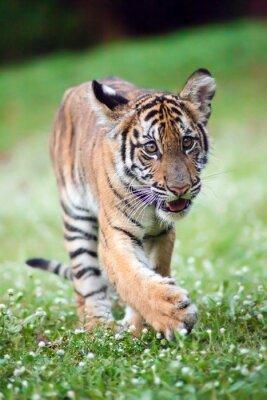 Картина Бенгальский тигр ребенок ходит по лугу.