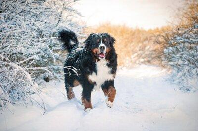 Картина Бернская горная собака на прогулке в зимний период