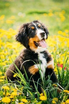 Картина Бернский зенненхунд или Бернер зенненхунд щенок сидит в зеленом