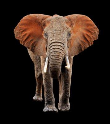 Картина Большой слон на черном фоне