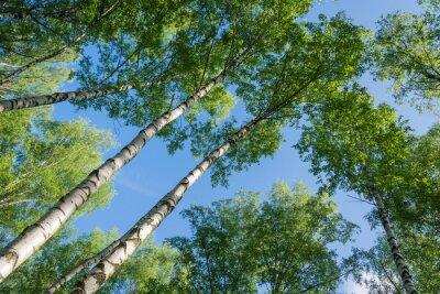 Картина Береза на фоне неба.