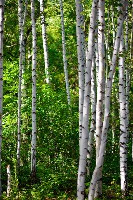 Картина березовый лес