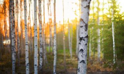 Картина Береза дерево на закате