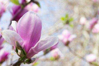 Картина Цветущий цветок магнолии