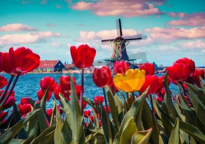 Картина Цветут тюльпаны в голландской деревне с известными ветряными мельницами. Весна солнечное утро на каналах Нидерландов. Instagram тонировка.