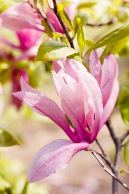 Картина Расцвет розовых цветов магнолии в весеннее время