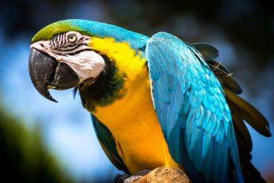Картина Сине-жёлтый ара (Ara ararauna-)