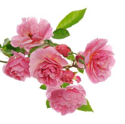 Картина филиал розового плетистые розы
