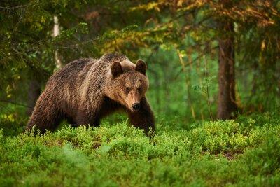 Картина Бурый медведь в лесу