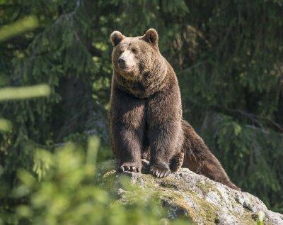 Картина бурый медведь мужской