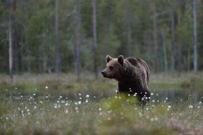 Картина Бурый медведь (Ursus ARCTOS) в болотах с фоне леса. Бурый медведь в болото с фоне леса. Тайга. Финляндия.