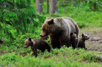 Картина Бурый медведь с медвежатами в лесу