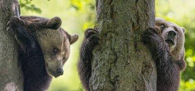 Картина бурых медведей на деревьях через