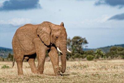 Картина Bull Слон