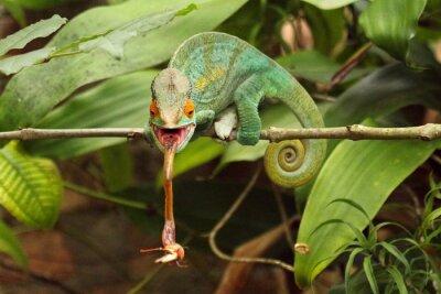 Картина Camaleão EM Мадагаскар