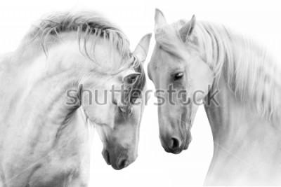 Картина Пара красивых белых лошадей. Высокое ключевое изображение