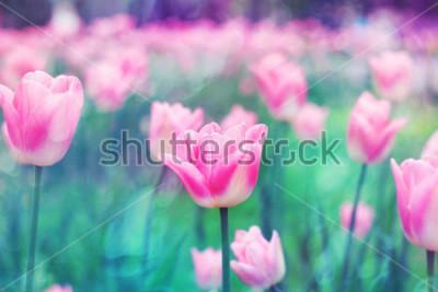 Картина Розовые цветки тюльпанов освещены солнечным светом. Мягкий избирательный фокус, тонирование. Яркий красочный фон фотографии