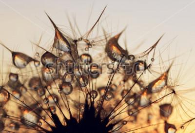 Картина Капли россы на семена одуванчика на рассвете крупным планом.
