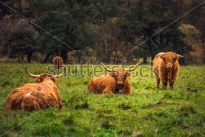 Картина Шотландская горная корова.
