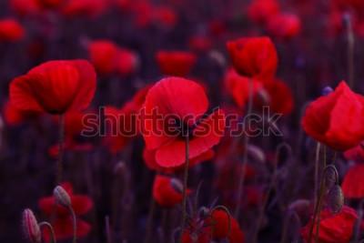 Картина Цветы Красные маки цветут на диком поле. Маки красивого поля красные с селективным фокусом. Тонизирующий. Креативная обработка в темном низком ключе