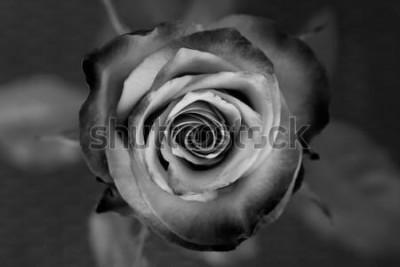 Картина Роза. Декоративная черно-белая роза. Элегантный романтический цветок.