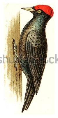 Картина Черный дятел, винтажные гравированные иллюстрации. Из Атласа Немецких Птиц Европы.