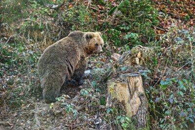Картина Карпатский бурый медведь